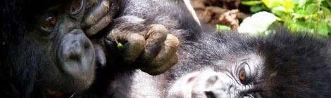 Gorilla-les, Uganda