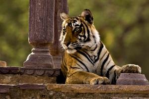 Tigris a Radzs Bagh romjainál
